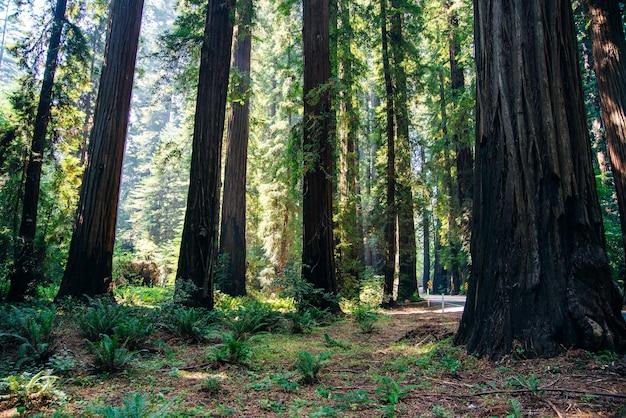 Strada aperta attraverso alberi di sequoia diritta e vuota in estate.