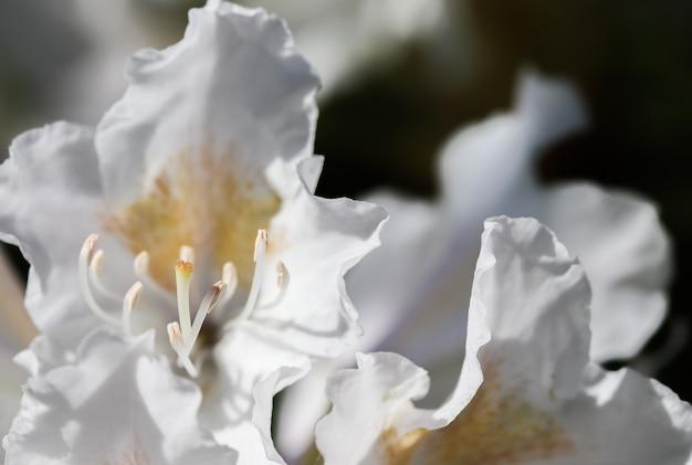 Apertura del bellissimo fiore bianco di rododendro cunninghams bianco nel giardino primaverile
