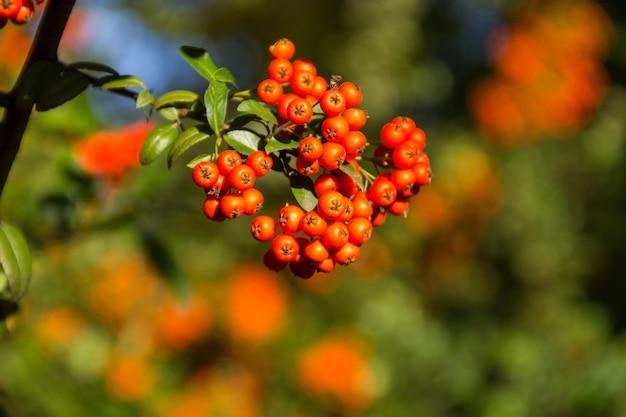Bacche autunnali arancioni di pyracantha con foglie verdi su un cespuglio