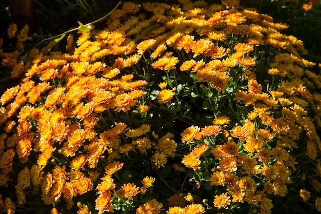 Crisantemi arancioni su aiuola in giardino in autunno