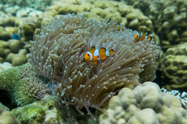 Pesce pagliaccio arancione