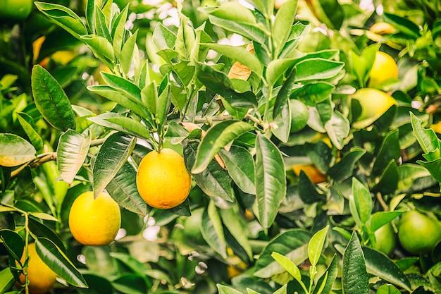 Raccolto arancio del raccolto nel brasile sull'inverno in un giorno nuvoloso