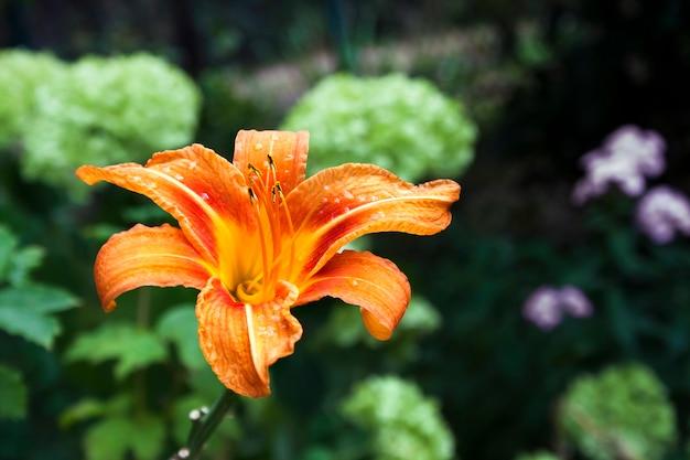 Primo piano arancione del fiore del giglio di giorno sulla superficie verde del giardino