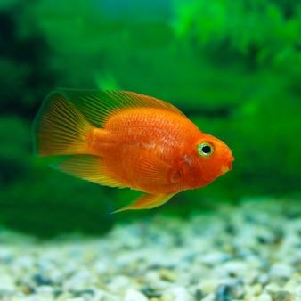 Pesce arancione da vicino in acqua con piante verdi