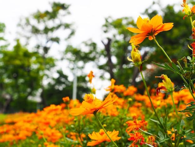 Fiore d'arancio in una natura bellissima e luminoso di sole con sfocatura dello sfondo floreale arancione