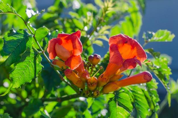 Fiori d'arancio del cespuglio di campsis in fiore