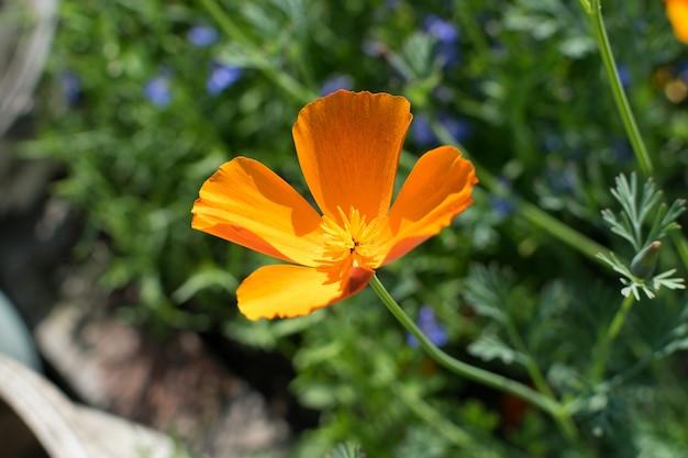 Fiori d'arancio di eschscholzia californica o del primo piano del papavero della california con il fuoco selettivo