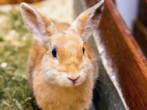 Coniglio lanuginoso arancione sul primo piano dell'erba_