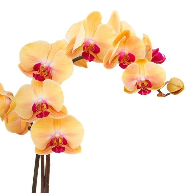 Ramo di orchidee fresche arancione isolato su priorità bassa bianca