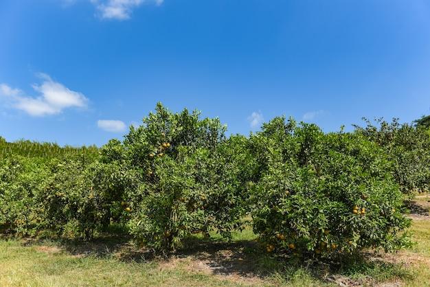 Frutta arancione sull'albero di arancio nel giardino estivo