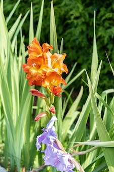 Primo piano arancio del fiore di gladiolo sotto il sole di estate