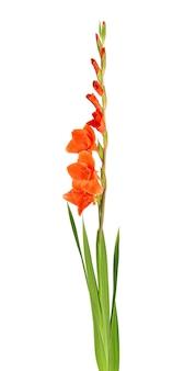 Fiori di gladiolo arancioni isolati su sfondo bianco. bellissimi fiori estivi.