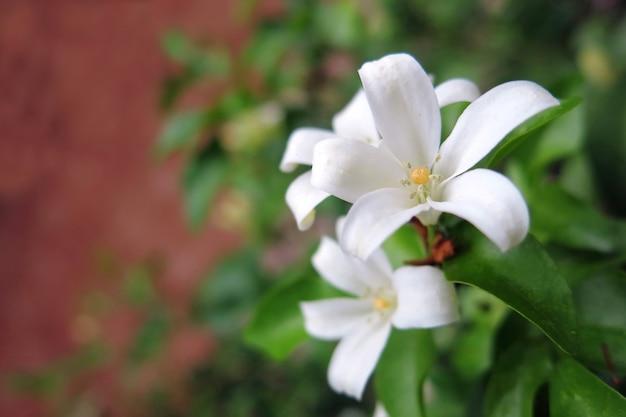 Fiore di gelsomino arancione di colore bianco che conferisce delicata fragranza alla fioritura