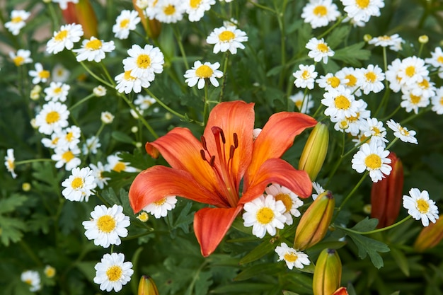 Sfondo di fiori di giglio arancione. pianta di giglio orientale, primo piano.