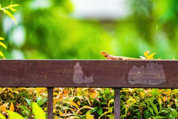 Lucertola arancione sulla recinzione in acciaio sotto la pioggia che cade con sfocatura dello sfondo verde.