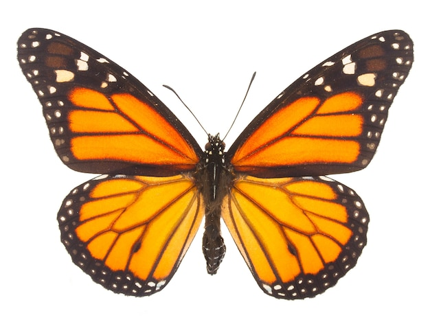 Farfalla monarca arancione isolata su bianco
