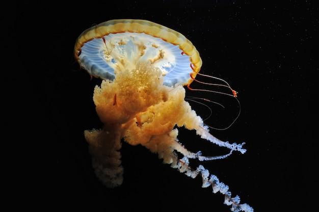 Primo piano della medusa dell'ortica di mare arancione di pasific
