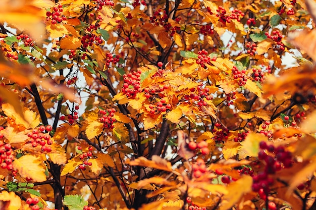 Profumo arancione maturo di cenere di montagna con foglie gialle di cenere di montagna
