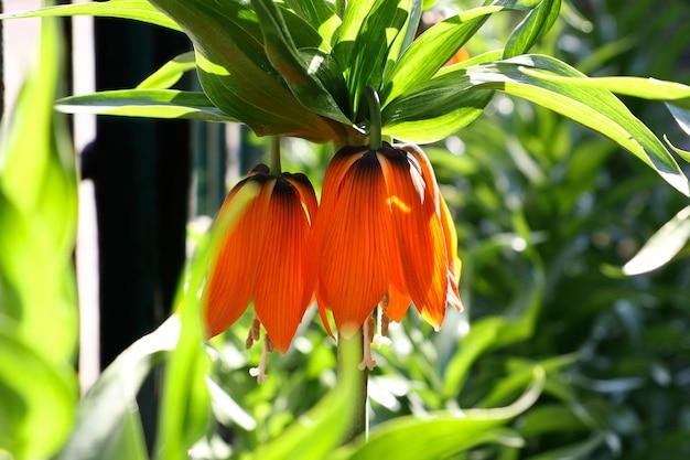 Fiore di primavera arancione immerso nei raggi della luce del sole. luce posteriore. sfondo luminoso all'aperto.