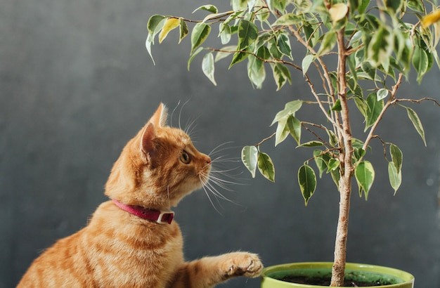 Gattino a strisce arancio e un vaso di fiore con il ficus su grigio scuro