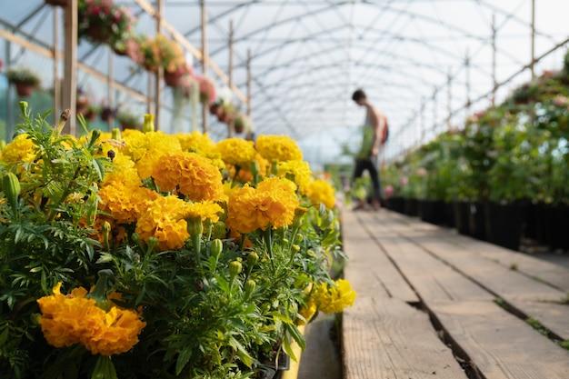 Fiori di tagetes arancioni in primo piano e una donna che sceglie fiori in serra