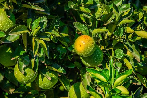 Arancio sull'albero, piantagione di frutta.