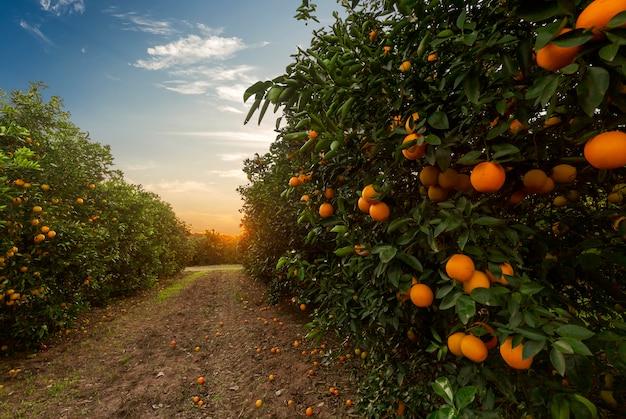 Piantagione di aranci