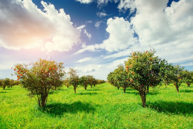 Piantagioni di aranci. sicilia italia europa