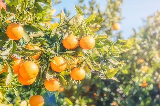 Piantagioni di aranci