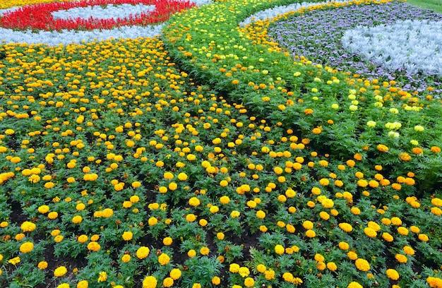 Fiori arancioni e gialli della pianta di tagetes sull'aiuola. sfondo estivo.