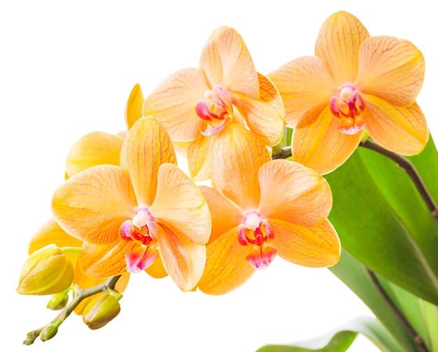 Orchidea phalaenopsis a strisce arancione, gialla e rosa isolata su bianco.
