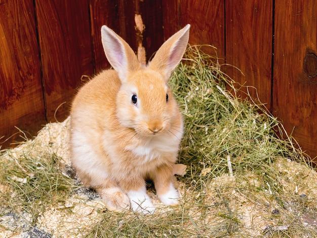 Coniglio giovane arancione con erba verde per il cibo