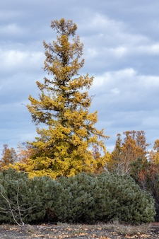 Orangeyellow larici e cespugli di arbusto sempreverde pinus pumila