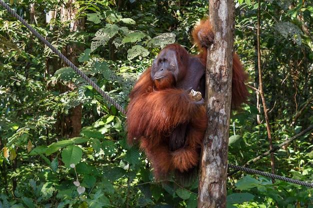 Una femmina di orangutan