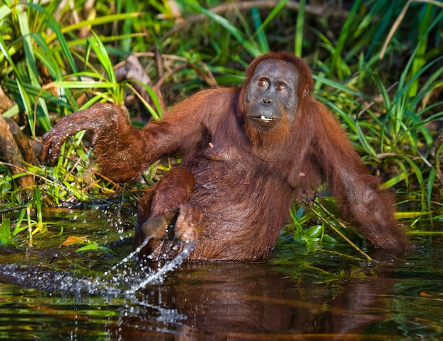 L'orangutan sta bevendo acqua dal fiume nella giungla. indonesia. l'isola di kalimantan (borneo).