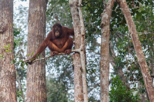Orangutan sull'albero, parco nazionale di tanjung puting