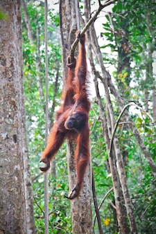 Orangutang nel centro di riabilitazione della fauna selvatica di semenggoh