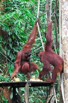 Orangotang nel centro di riabilitazione della fauna selvatica di semenggoh
