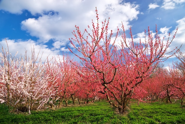Giardino del frutteto. filari di alberi. composizione della natura.