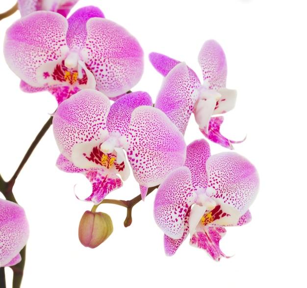 Fine del ramo dell'orchidea su isolato su priorità bassa bianca
