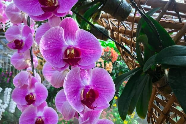 Fiore dell'orchidea in giardino all'orchidea di phalaenopsis di inverno.