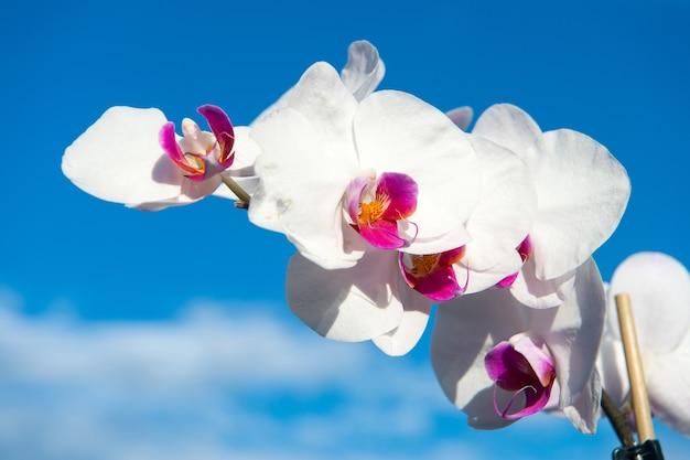 Fiore di orchidea bianco su sfondo azzurro del cielo. fiore di orchidea phalaenopsis. sfondo floreale.