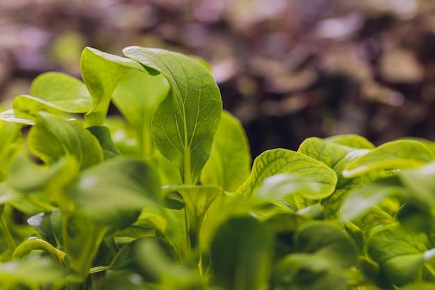 Cilantro microgreen biologico pronto per essere raccolto.