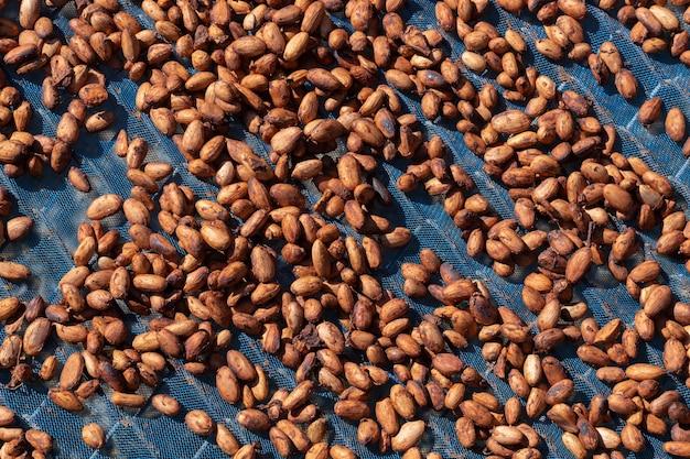 Fave di cacao biologiche essiccate al sole in una fattoria