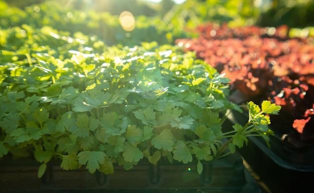 Germogli organici dell'erba del coriandolo del coriandolo alla luce del sole di mattina trama della pianta di coriandolo verde fresco che cresce vicino.