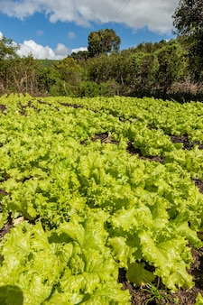 Coriandolo biologico e coltivatore a lagoa seca paraiba brasile