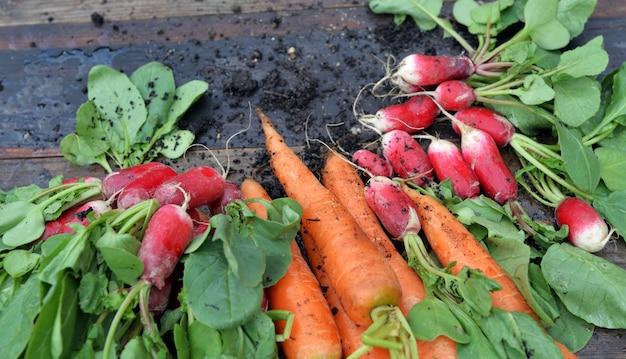 Carote e ravanelli sporchi organici appena raccolti in giardino e messi su una plancia