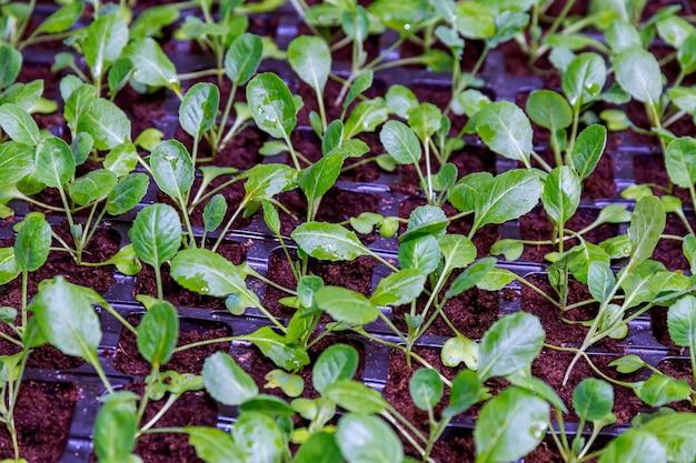 Agricoltura biologica, piantine che crescono in serra. molte piantine di cavolo in cassette di plastica nera nella serra.