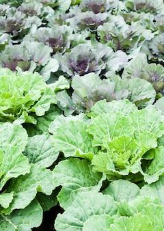 Cavolo verde fresco biologico in giardino per le esigenze nutrizionali quotidiane