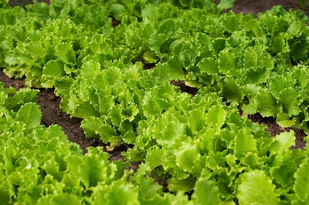 Lattuga di freschezza organica che cresce su un giardino